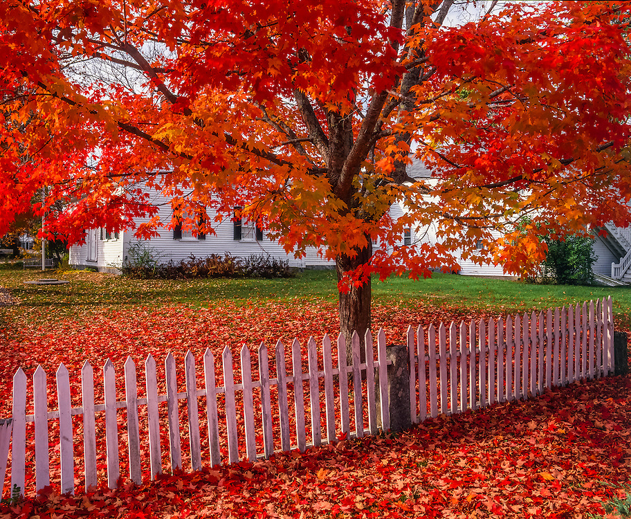 Sugar maple tree in brilliant fall reds, picket fence & fallen leaves, Historical Society, Center Sandwich, NH