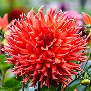 Aug 23 - 2014  San Francisco, ca Golden Gate Park Dahlias Garden,