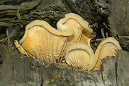 Tapinella panuoides (Oyster Rollrim)
