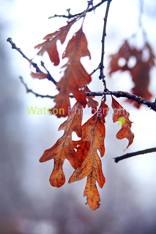 Oak Leaves of Autumn meet Spring Rain