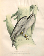 Pigeon Hawk (Accipiter Palumbarius). color plates of North American birds from Fauna boreali-americana; or, The zoology of the northern parts of British America, containing descriptions of the objects of natural history collected on the late northern land expeditions under command of Capt. Sir John Franklin by Richardson, John, Sir, 1787-1865 Published 1829