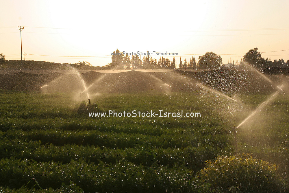 Water sprinkles are turned on a field of carrots during sunset.
