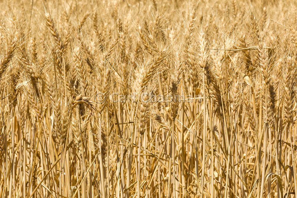 Heads of golden barley in a field before harvesting in rural Dumosa, Victoria, Australia. <br /> <br /> Editions:- Open Edition Print / Stock Image
