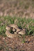 Prairie Rattlesnake coiled to strike.