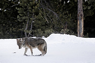 A coyote bows to a cold blast of wind