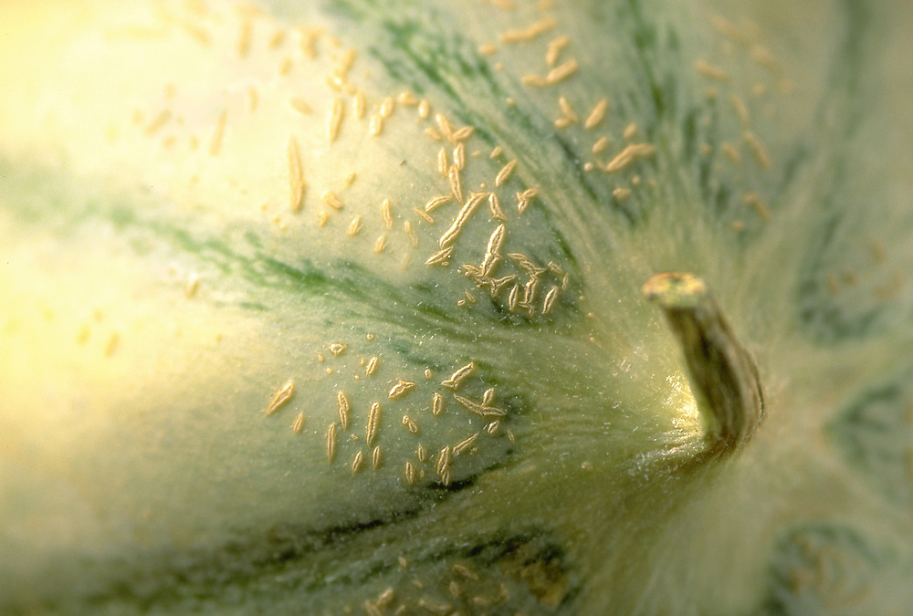 Close up selective focus photograph of a Charentais melon