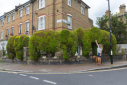 Local resident  Beth Lawrence gives a topiary elephant an affectionate pat as she walks Frida, a dog that she is dog-sitting. The elephant topiary hedge at the corner of Ambler and Romilly Roads in Finsbury Park, much beloved of local residents, is under threat after it has been claimed that drug users are using the cover of the elephants. The ground floor flat at the address has been boarded up following a police raid and eviction of tenants who, according to neighbours, were using the flat as a drugs den . London, August 12 2019.