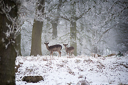 Fallow deer in snow at Bradgate Country Park, Leicestershire, England, UK.