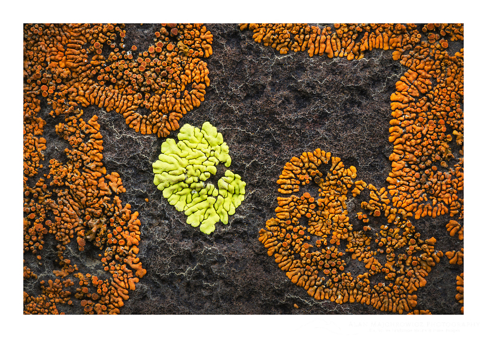 Multi-colored lichens on basalt rock, Columbia Plateau, Oregon.