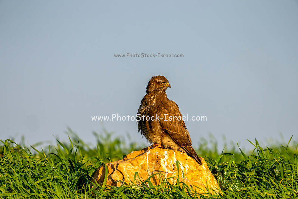Common buzzard (Buteo buteo) on the ground. This bird of prey is found throughout Europe and parts of Asia, inhabiting open areas, such as farmland and moors, and wooded hills. It grows up to 50 centimetres in length and feeds on small birds, mammals and carrion. Photographed in Israel in February.