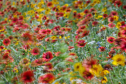 Windblown red gaillardia and other wildflowers in Hill Country north of Mason, Texas USA.