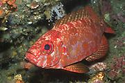 Bloch's Bigeye.(Priacanthus blochii).Lembeh Straits, Indonesia
