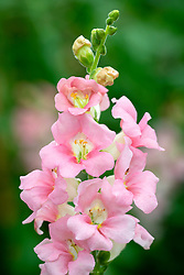 Antirrhinum 'Chantilly Light Pink'