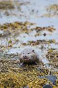 Sea Otter, Lutra lutra, carnivorous semi-aquatic mammal, feeding on eel at side of loch on Isle of Mull in the Inner Hebrides and Western Isles, West Coast of Scotland