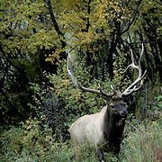 Elk, (Cervus elaphus) Bull emerging from dense covere. Colorful foliage.Fall rut season.