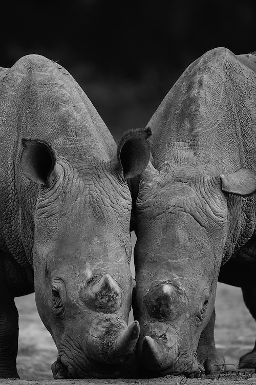 A black and white portrait of a pair of white rhinoceros feeding (Ceratotherium simum) on nearly the same spot, The Aberdares, Kenya,Africa