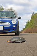 Blanding's Turtle Crossing Road with car approaching.