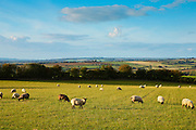 Sheep grazing in Oxfordshire, United Kingdom