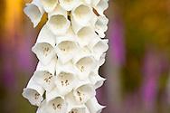 A white variety of Foxglove flowers (Digitalis purpurea) a beautiful, invasive, poisonous wildflower.