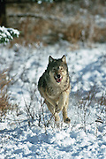 Gray wolf (Canis lupes)in northern Minnesota during winter