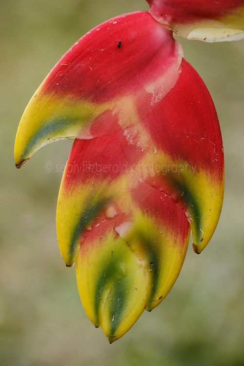Heliconia,  Arenal Tilaran Conservation Area, Costa Rica.