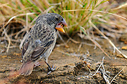Large ground-finch (Geospiza magnirostris) with seed at Puerto Egas, Santiago, Galapagos.