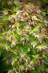 Acer palmatum 'Orange Dream' AGM - Japanese maple. Showing damaged foliage.