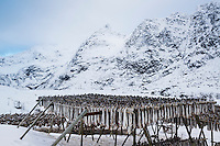 Cod stockfish hang to dry in snow covered winter landscape, Å, Moskenesøy, Lofoten Islands, Norway