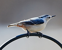 White-breasted Nuthatch (Sitta carolinensis). Image taken with a Nikon D850 camera and 500 mm f/4 VR lens.