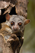 Milne-Edward's Sportive Lemur (Lepilemur edwardsi) peeking out of tree, endemic, Daraina, Madagascar