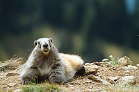 Marmot on Hurricane Ridge, Olympic National Park, WA.