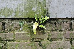 Tongvaren, Asplenium scolopendrium