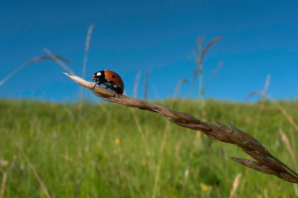 Seven spot ladybird (Coccinella 7-punctata) in Moldova near adurea Domnesca National Park