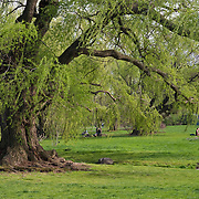 "Wisconsin Weeping Willow tree (Salix x pendulina ""Blanda"") at the Brooklyn Botanic Garden in Brooklyn, New York City"