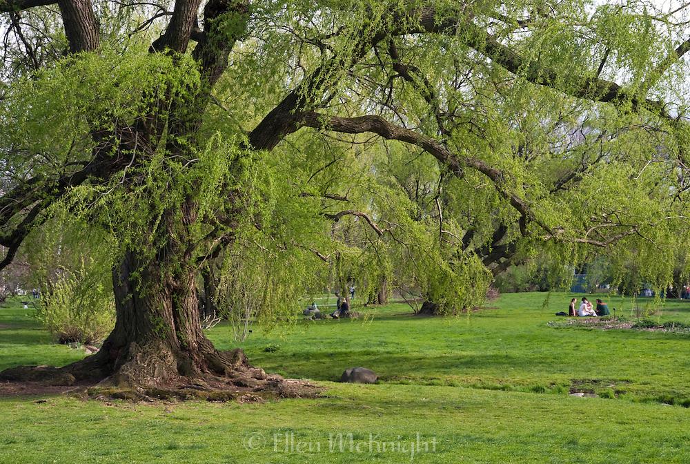 "Wisconsin Weeping Willow tree (Salix x pendulina ""Blanda"") at the Brooklyn Botanic Garden in Brooklyn, New York City"
