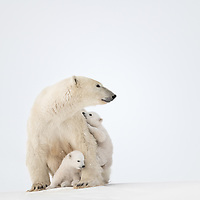 Two cubs-of-the-year protected by their mother; one climbing on its  mothers back while the other watches in Wapusk National Park near Churchill, Manitoba, Canada