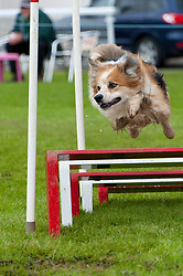 © Licensed to London News Pictures. 19/08/2017. Llanelwedd, Powys, UK. Agility events take place on the second day of The Welsh Kennel Club Dog Show, held at the Royal Welsh Showground, Llanelwedd in Powys, Wales, UK. Photo credit: Graham M. Lawrence/LNP