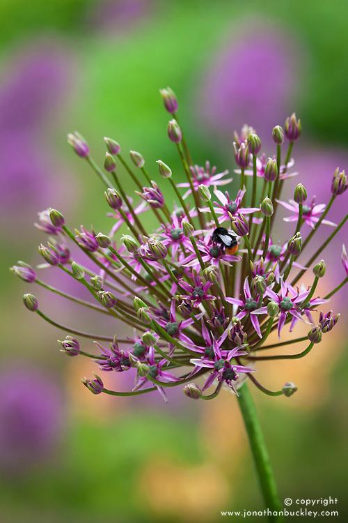 Bee on Allium 'Spider'
