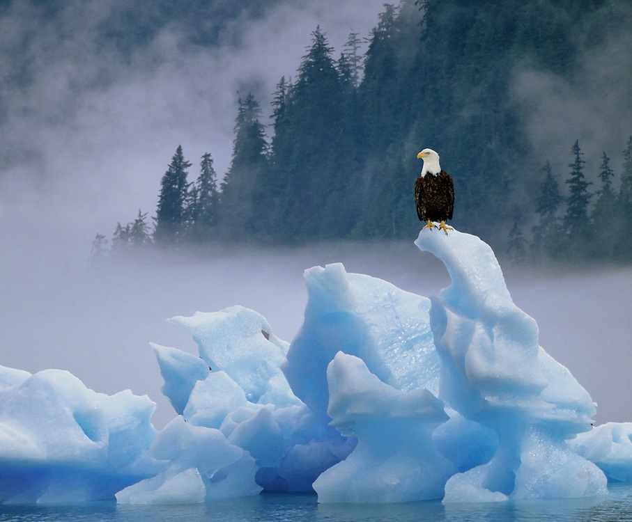Alaska. Tongass National Forest. Stikine - LeConte Wilderness. Icebergs calved from LeConte Glacier make a perfect resting spot for an American Bald Eagle. (Haliaeetus leucocephalus). Composite. D003_323, 054_042, S007_968.