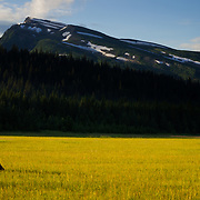 An Alaskan Brown Bear cub follows his mother across a sedge flat in Lake Clark National Park, Alaska.