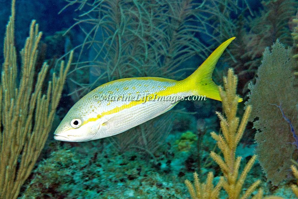 Yellowtail Snapper feed in open water above reefs in Tropical West Atlantic; picture taken Little Cayman.