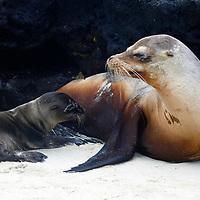 South America, Ecuador, Galapagos Islands. Sea Lions of Sombrero Chino island.