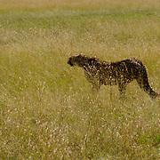 Cheetah (Acinonyx jubatus) Female in tall grass hunting. Masai Mara National Park. Kenya. Africa.