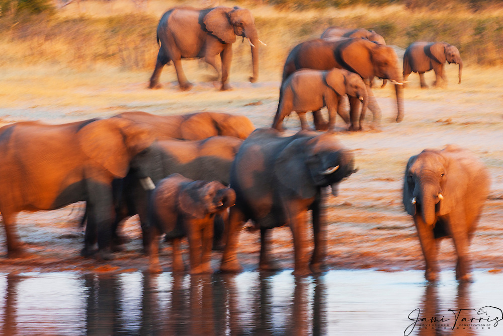 A motion-blur of a herd of African elephants (Loxodonta africana)walking down to drink at a water hole at sunset, Hwange National Park, Zimbabwe,Africa
