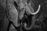 Herd of elephants gather around the waterhole to quench their thirst during a long migration in Lewa, Kenya.