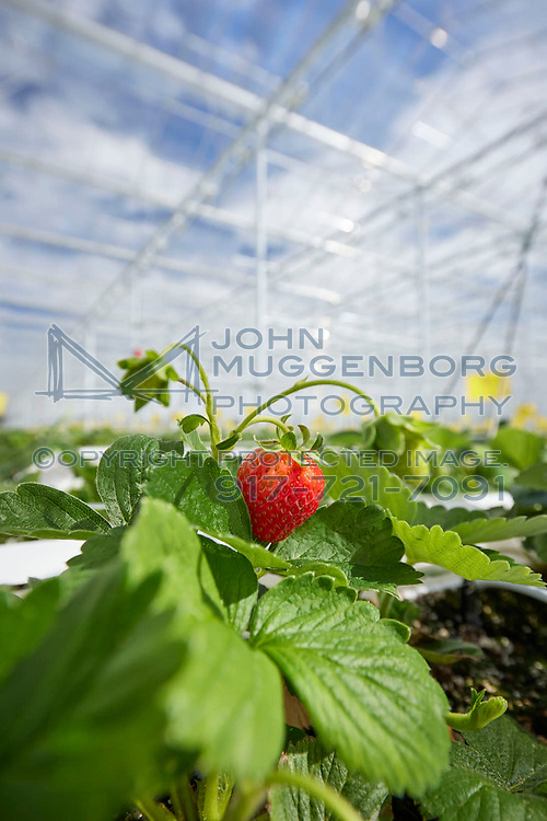 IMAGE FOR REVIEW...Green Empire Farms in Oneida, NY. Photographed by John Muggenborg.<br /> <br /> http://www.johnmuggenborg.com