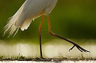Legs of a Great White Egret, Egretta alba or Ardea alba, Pusztaszer protected landscape, Kiskunsagi, Hungary
