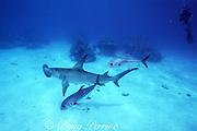 diver and great hammerhead shark, Sphyrna mokarran (replica), and horseye jacks,Caranx latus, Bahamas ( Western Atlantic )