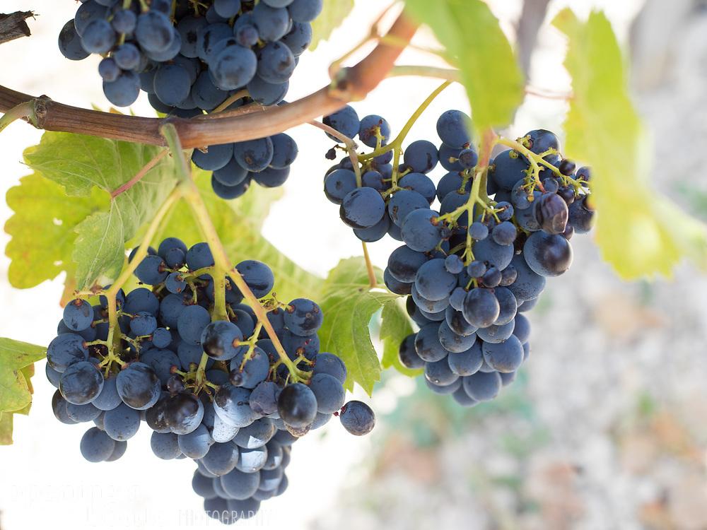 Nero d'Avola grapes ripen under the Sicilian sun, in a vineyard near Agrigento.