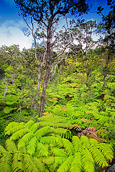 Hapuu Pulu, Hapu`u Pulu or Fern Tree, Cibotium glaucum, and Ohia or `Ohi`a Lehuna, Metrosideros polymorpha, rainforest, Hawaii, USA Volcanoes National Park, Kilauea, Big Island, Hawaii, USA